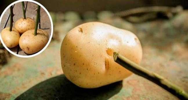4 -Ramo de roseira espetado na batata.