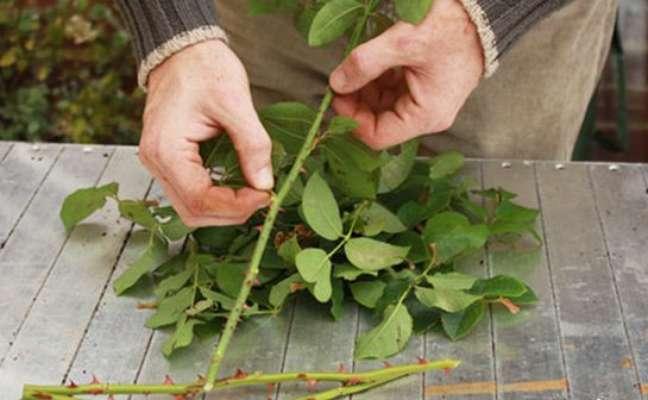 3 -Retirada das folha de roseira.