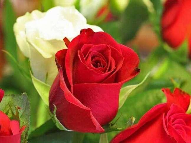 2 – A rosa é uma das flores mais populares do mundo.