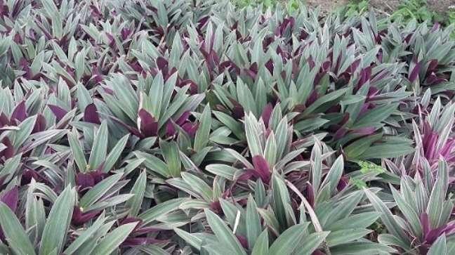 12 – As plantas ornamentais como o abacaxi roxo recebe o nome pela semelhança com outra planta.