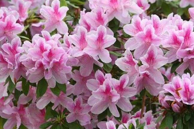 35 – As azaléias são plantas ornamentais que florescem durante a primavera, mas suas flores costumam durar algumas semanas.