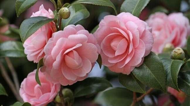 33- A camélia é uma flor muito usada em jardins ornamentais.