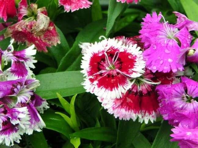 31 – A cravina é uma flor ornamental rara que apresenta cores intensas e vibrantes.