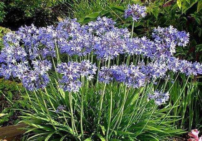 19 – As plantas ornamentais de sol como Agapanto resistem ao sol forte e ao frio.