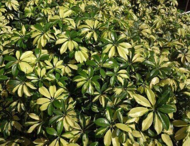 24- A Cheflera é uma planta rústica que não necessita de muita manutenção.
