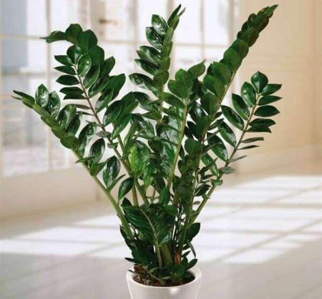 23- A Zamioculcas é uma planta com crescimento lento que pode ser cultivada em locais com pouca ou muita luminosidade.