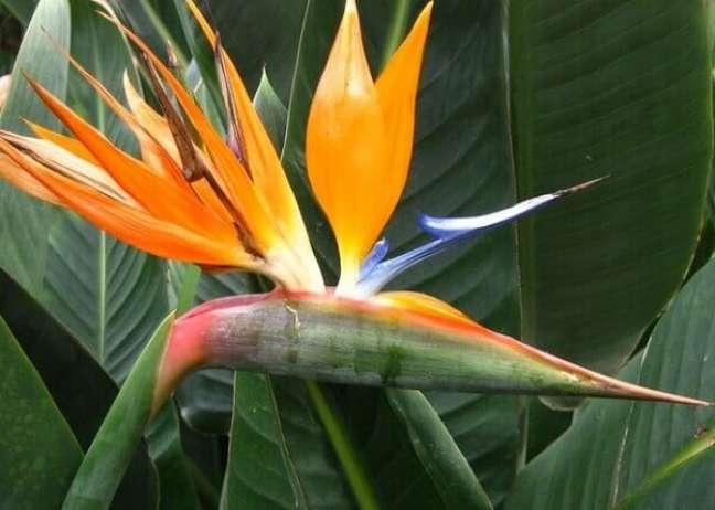 2- As plantas ornamentais como as Strelitzías é uma flor colorida de longa duração.