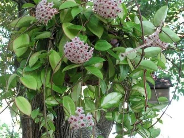 13 – As plantas ornamentais como a flor-de-cera são identificadas pela sua delicadeza.