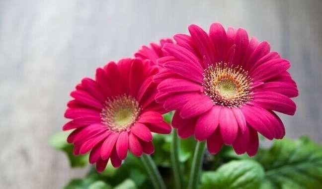 32 -Gérbera rosa é muito usada para fazer arranjos florais e decorar ambientes externos.