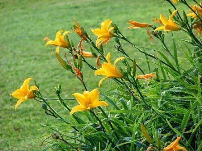 11 – O Lírio amarelo é uma espécie de plantas ornamentais que recebe o nome de acordo com a sua cor.