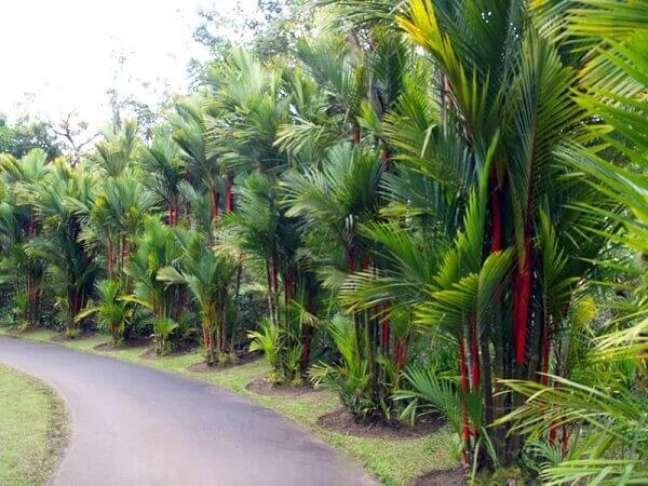 8- Plantas ornamentais para jardim como a Palmeira-laca ajudam a colorir o espaço.