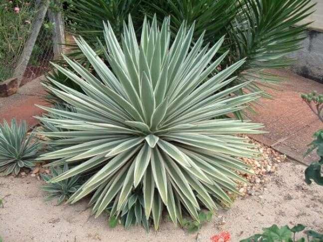 7- Plantas ornamentais como a Agave podem chegar a 2 metros de altura.