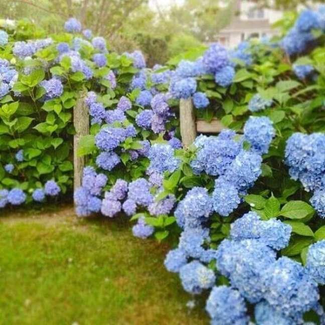 9- As Hortências são plantas ornamentais para jardim que crescem muito.
