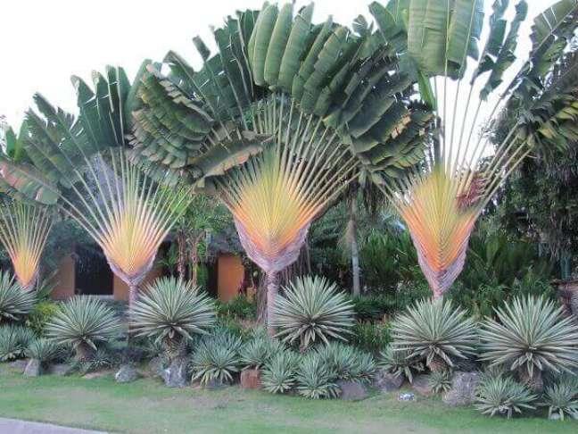 6- Plantas ornamentais para jardim precisam ser chamativas e marcantes como a árvore-do-viajante.