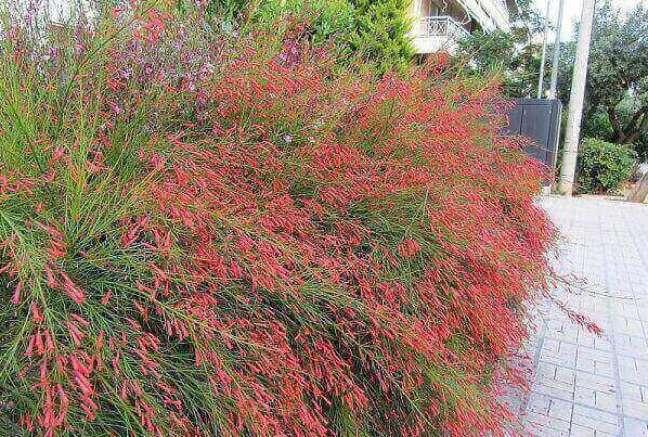 10 – As plantas ornamentais como a Russélias se destacam quando são plantadas em grupos perto de muros.