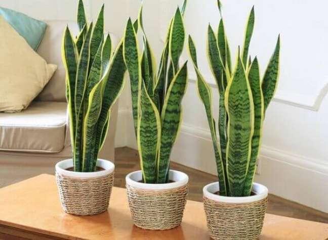 27- A Espada-de-são-Jorge é uma planta ornamental de fácil manutenção.
