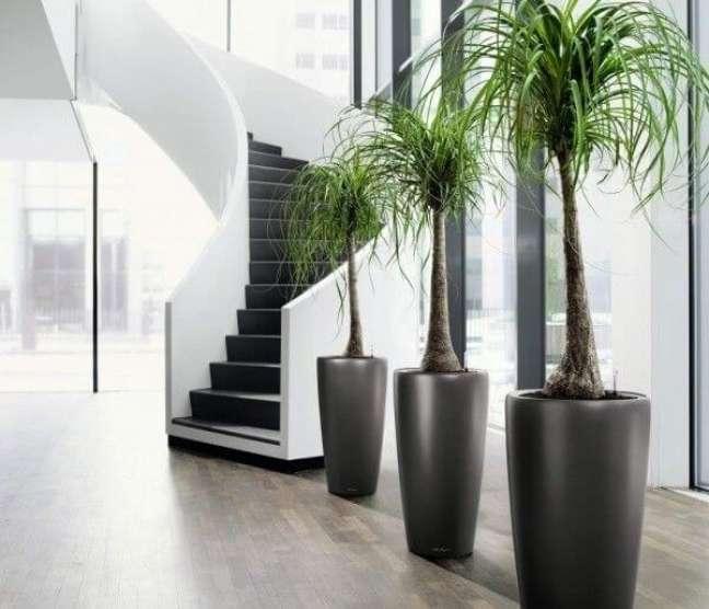 26 -A Pata-de-elefante são espécies de plantas ornamentais que possuem base dilatada.