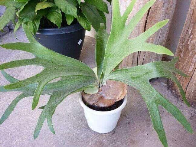 29 – Vaso com planta ornamental Chifre-de-veado.