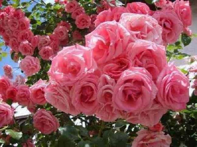 4- As Rosas trepadeiras são plantas ornamentais ideais para cobrir uma treliça.