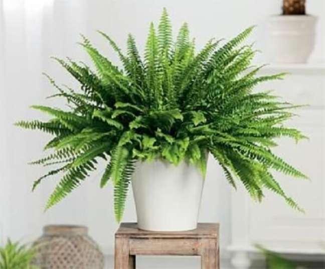 1 – As samambaias são plantas ornamentais que precisam de luz moderada e indireta.