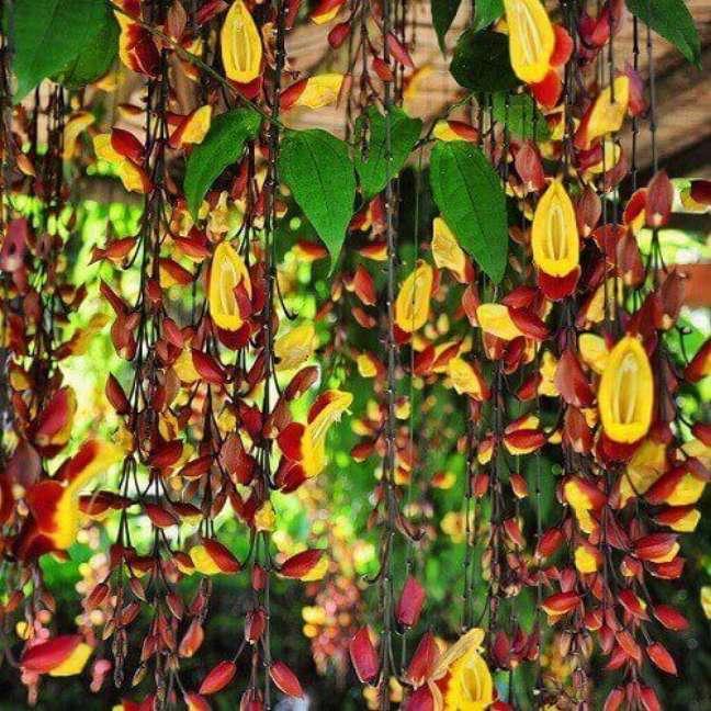 18 – As plantas ornamentais de sol como a Sapatinho de Judia são ideais para serem plantadas em pergolados.