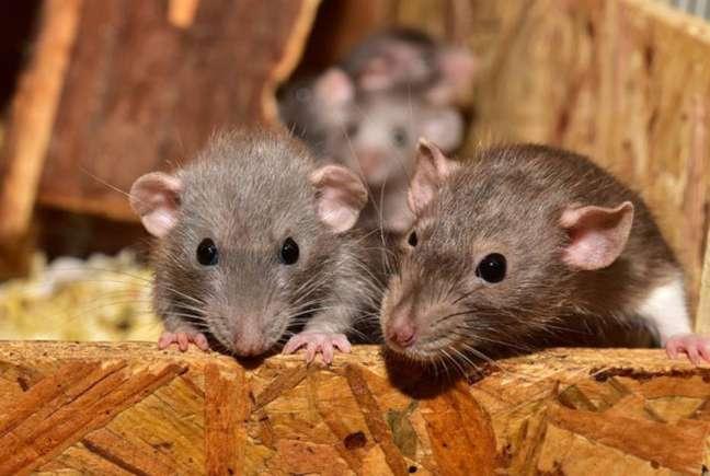 Segundo o estudo feito pela Universidade de Fordham, em Nova York, gatos não são bom predadores de ratos