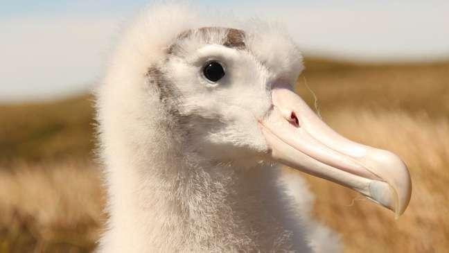 Ratos chegaram a matar 2 milhões de filhotes em um ano - albatroz é uma das espécies afetadas