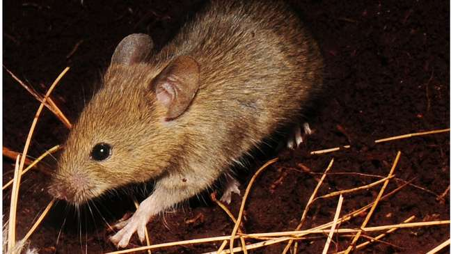 Um dos ratos que estão causando estragos na ilha de Gough