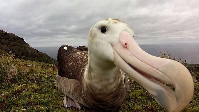 Só restam 2 mil casais de albatroz-de-tristão na ilha de Gough