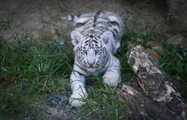 Amal, uma fêmea de tigre branco, deu à luz Radesh, Indra e Indira, três filhotinhos que foram mostrados ao público no zoológico do 'Beto Carrero World' nesta sexta-feira, 11.