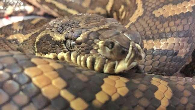 A cobra píton, apelidada de Nike, está agora livre dos carrapatos