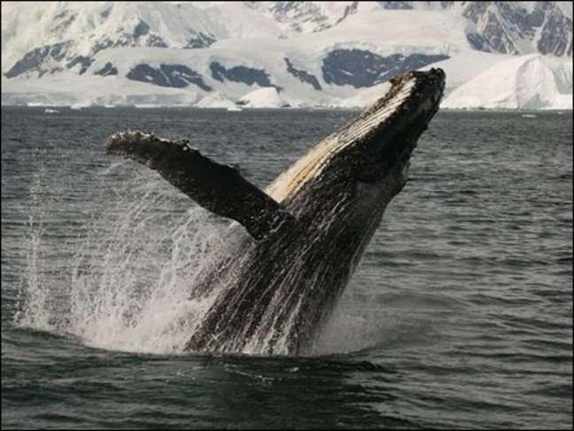 Especialistas dizem que a baleia-de-minke e a jubarte costumam passar pelo Mar do Japão em sua rota migratória nesta época do ano