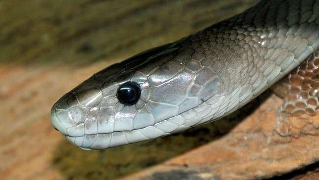 Mamba-negra é uma das cobras mais mortais do mundo - sua picada pode matar um ser humano em 30 minutos