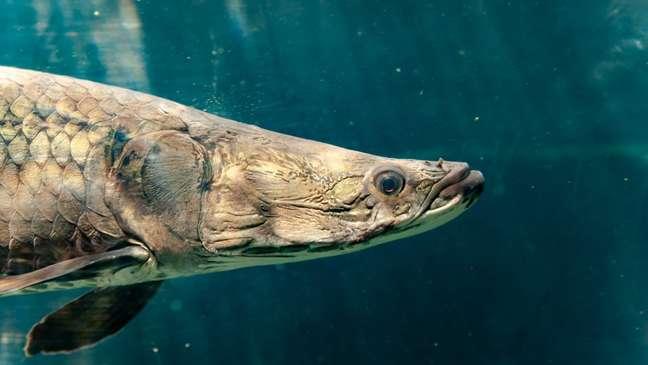 O pirarucu é um dos maiores peixes de água doce do mundo e agora outra propriedade sua é destrinchada: a resistência de suas escamas
