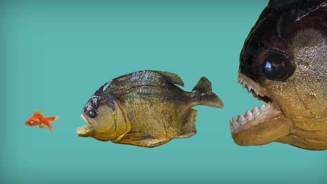 Como escapar da poderosa mordida da piranha? Só mesmo um longo processo evolutivo pode apresentar truques...