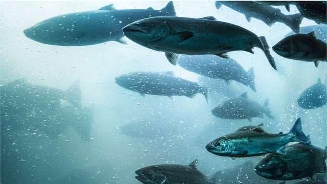 O parasita vive em um ambiente anaeróbico dentro do salmão