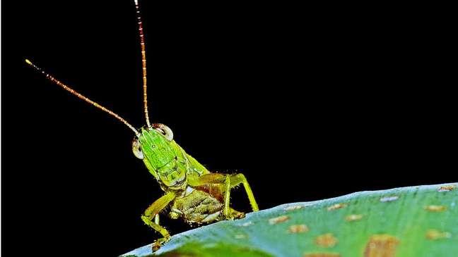 O sentido do olfato dos gafanhotos está localizado em suas antenas
