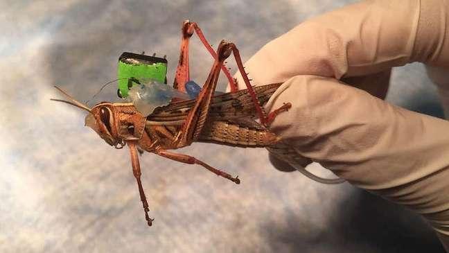 Gafanhotos usados na pesquisa foram equipados com 'mochilas' de sensores