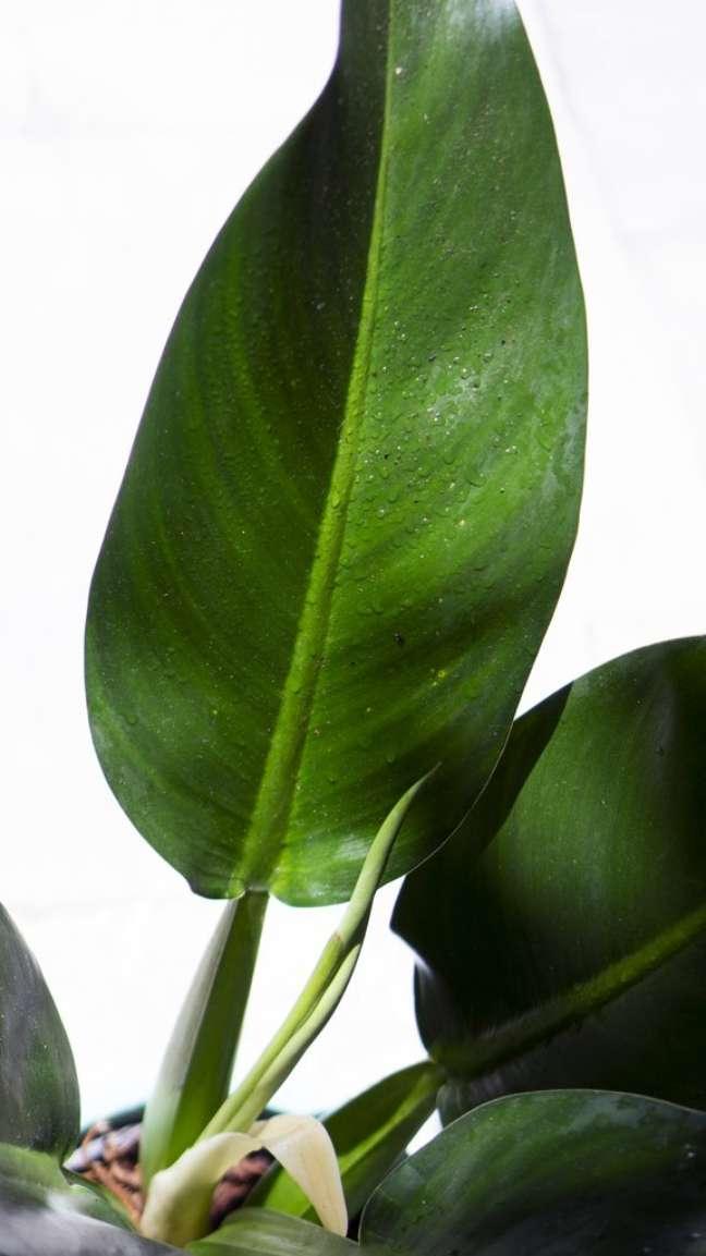 24. A folha da pacová é verde e brilhante, com bordas finas – Via: Selvvva