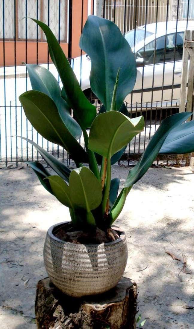 27. Vaso pacová gigante no quintal de casa – Via: Plantas Ornamentais