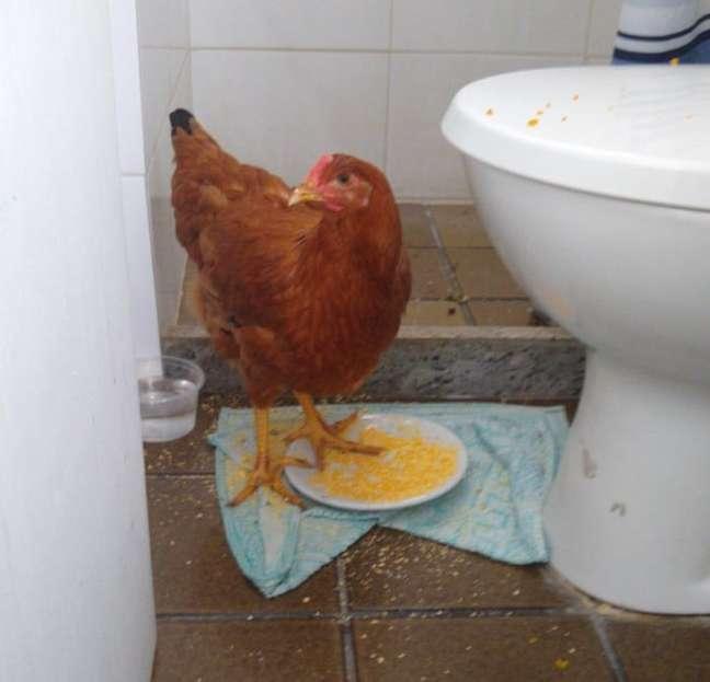 """A galinha """"Rafinha"""" foi resgatada por Armando e deixou a esposa dele, Jussara, de cabelo em pé"""