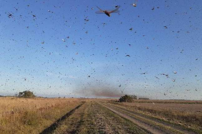 Na segunda-feira, autoridadesda Argentina informaram que uma nuvem de gafanhotos levantou voo na província de Corrientes e poderia atravessar a fronteira com o Rio Grande do Sul.
