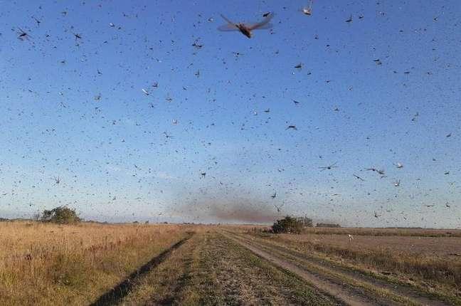 Na segunda-feira, autoridades da Argentina informaram que uma nuvem de gafanhotos levantou voo na província de Corrientes e poderia atravessar a fronteira com o Rio Grande do Sul