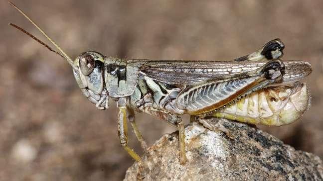 Gafanhotos são comuns na região Oeste dos EUA, mas, segundo cientistas, houve uma explosão na população desses insetos neste ano, agravada pela seca e ondas de calor históricas
