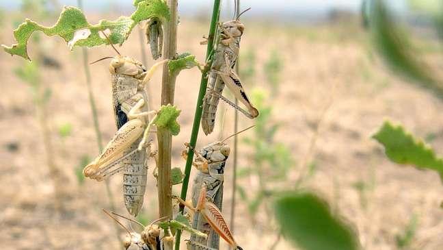 O surto neste ano já afeta pelo menos 15 Estados e vem provocando devastação em lavouras e pastagens, onde os gafanhotos competem por comida com o gado