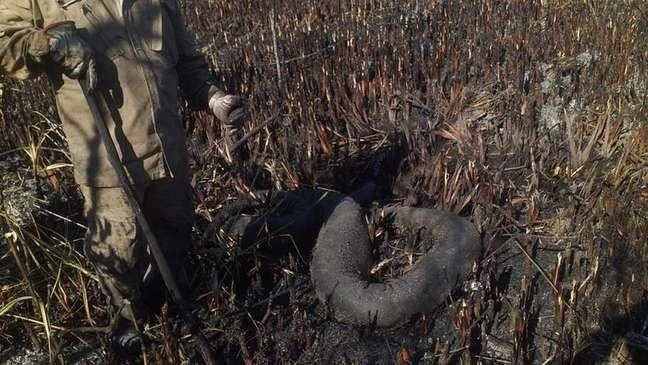 Sucuri de 5,5 metros morreu carbonizada em meio ao fogo