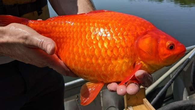 Vários peixes-dourados enormes foram encontrados recentemente em um lago em Burnsville, Minnesota