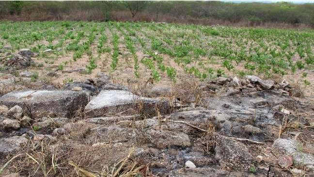 Plantação de palma em área recém-queimada em Alagoas