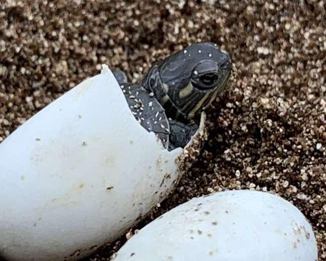 CientistadeMichigan(EUA) retira ovos de tartaruga atropelada