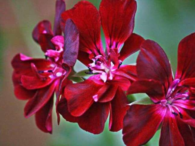 46. Como cuidar de gerânio – Foto Minhas Plantas
